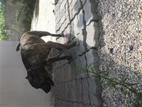 Pitbull-lloji DOG