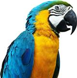 Papagall Blue-and-yellow macaw (Ara ararauna)