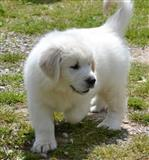 Puppies Awesome Golden Retriever