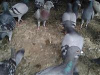 Pigeon. Pellumba