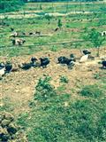 Pula fshati