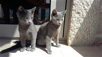 Blu Ruse Kotele Mace - Russian Blue kittens cat