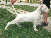 Dog Argjentina