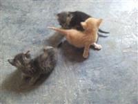 mace shtepiake