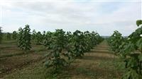 OKAZION Toke e mbjell me PAULOWNIA 2 Hektar