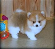 Puppies Excellent pomeranez